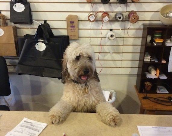 Goldendoodle Barkley store clerk